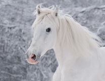 Ritratto bianco del cavallo di inverno Fotografia Stock Libera da Diritti