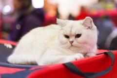 Ritratto bianco del gatto Immagini Stock