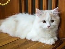 Ritratto bianco del gatto persiano Immagine Stock Libera da Diritti