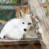 Ritratto bianco dell'animale della volpe artica fotografie stock libere da diritti