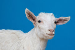 Ritratto bianco della capra immagini stock