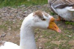 Ritratto bianco della testa dell'oca Immagini Stock