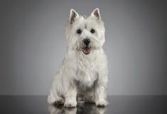 Ritratto bianco di West Highland Terrier in un fondo grigio fotografia stock libera da diritti