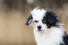 Ritratto in bianco e nero del cane fotografie stock libere da diritti