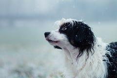 Ritratto in bianco e nero del cane, inverno, neve immagine stock libera da diritti