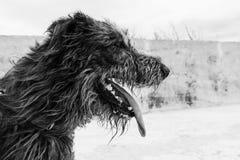 Ritratto in bianco e nero del cane del wolfhound irlandese dal profilo nell'orario invernale Fotografia Stock