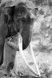 Ritratto in bianco e nero dell'elefante Immagini Stock