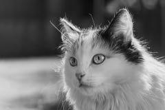 Ritratto in bianco e nero di bello di gatto colorato di tri dai capelli lunghi lanuginoso adulto con i grandi occhi su un fondo v immagini stock libere da diritti