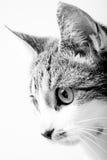 Ritratto in bianco e nero di Tabby Cat nell'alta esposizione chiave Fotografia Stock Libera da Diritti