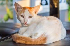 Ritratto bianco giallo del gatto della via immagini stock libere da diritti