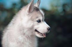 Ritratto blu grigio e bianco del cucciolo del cane del husky siberiano del eyas Fotografia Stock Libera da Diritti