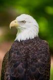 Ritratto calvo di Eagle Close Up Looking Left fotografia stock