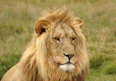 Ritratto capo del leone Fotografie Stock