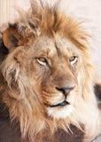 Ritratto capo dell'animale del leone Immagine Stock Libera da Diritti