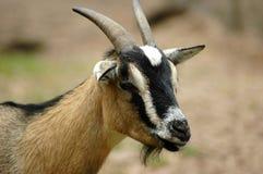Ritratto capo della capra Fotografie Stock Libere da Diritti