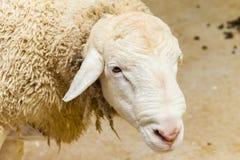 Ritratto capo delle pecore Immagine Stock Libera da Diritti