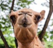 Ritratto capo sorridente divertente del colpo del cammello Fotografie Stock
