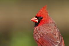 Ritratto cardinale nordico Fotografia Stock
