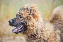 Ritratto caucasico del pastore Fotografie Stock