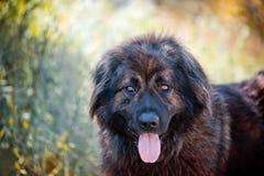 Ritratto caucasico del pastore Fotografia Stock