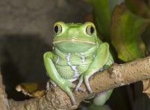 Ritratto cereo della rana della foglia della scimmia (sauvagii di Phyllomedusa) immagine stock libera da diritti