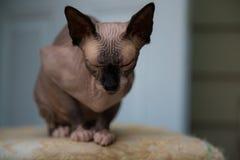 Ritratto chiuso di razza degli occhi di gatto della Sfinge Fotografie Stock Libere da Diritti