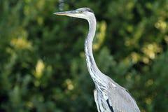 Ritratto cinerea di Grey Heron Ardea Fotografie Stock