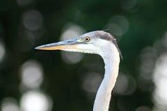 Ritratto cinerea di Grey Heron Ardea Immagine Stock Libera da Diritti