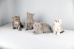 Ritratto completo dei gattini di Britannici Shorthair Immagini Stock Libere da Diritti