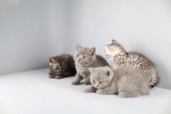 Ritratto completo dei gattini di Britannici Shorthair Immagine Stock Libera da Diritti