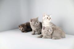 Ritratto completo dei gattini di Britannici Shorthair Immagini Stock