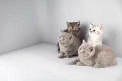 Ritratto completo dei gattini di Britannici Shorthair Fotografia Stock Libera da Diritti