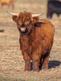 Ritratto completo di risoluzione di un vitello del bestiame dell'altopiano Fotografia Stock Libera da Diritti