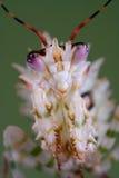 Ritratto coperto di spine del mantis Immagini Stock