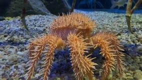Ritratto coperto di spine eccellente del granchio dalle profondità degli oceani giapponesi con le gambe di granchi reali video d archivio