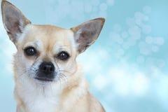 Ritratto crema della chihuahua Fotografia Stock
