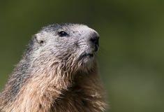 Ritratto curioso della marmotta Fotografia Stock Libera da Diritti