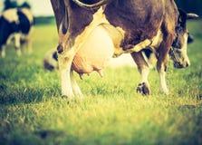 Ritratto d'annata della mucca sul pascolo Immagine Stock