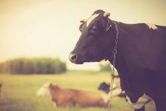 Ritratto d'annata della mucca sul pascolo Fotografia Stock