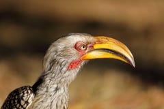 Ritratto dal becco giallo del bucero - Sudafrica fotografia stock libera da diritti