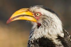 Ritratto dal becco giallo del sud del bucero, parco nazionale di Kruger, Sudafrica fotografia stock libera da diritti
