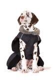 Ritratto Dalmatian del cucciolo Fotografia Stock Libera da Diritti
