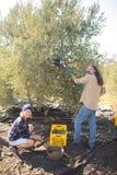 Ritratto degli agricoltori felici che raccolgono oliva con lo scaffale Fotografia Stock