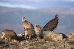 Ritratto degli avvoltoi dell'organismo saprofago di grifone e del nero Fotografia Stock Libera da Diritti