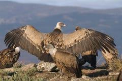 Ritratto degli avvoltoi dell'organismo saprofago di grifone e del nero Fotografie Stock Libere da Diritti