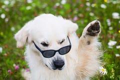 Ritratto degli occhiali da sole d'uso e di ondeggiamento del cane divertente di golden retriever della sua zampa fotografia stock