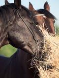 Ritratto degli stalloni delle coppie che mangiano fieno Fine in su Fotografia Stock Libera da Diritti