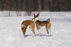Ritratto dei cani Basenji nel parco Fotografia Stock Libera da Diritti
