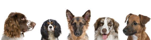 Ritratto dei cani contro priorità bassa bianca Immagine Stock