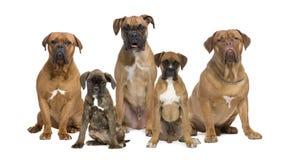 Ritratto dei cani del pugile contro priorità bassa bianca Immagine Stock
